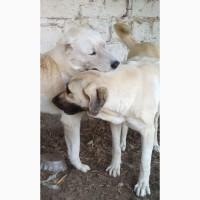 Терміново, Віддам собаку, Кангал з САО, (алабай)