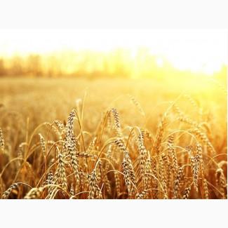 Посев.материал озимой пшеницы Амазонка Твердая озимая суперэлита Краснодарская селекция