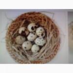 Продаю яйца инкубационные Техасец.Фараон, Феникс