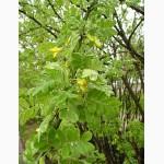 Продам семена караганы древовидной (акации желтой)