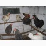 Інкубаційні яйця домашніх курей(инкубационное яйцо)