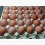 Реализуем инкубационное яйцо Ломан Браун