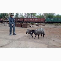 Куплю овец романовской породы