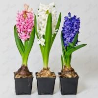 Цветы оптом к 8 Марта