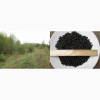 Можжевельник ягода, плоды, шишкоягоды, обыкновенный Juniperus верес