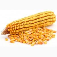 Куплю Кукурузу Днепр от 100т