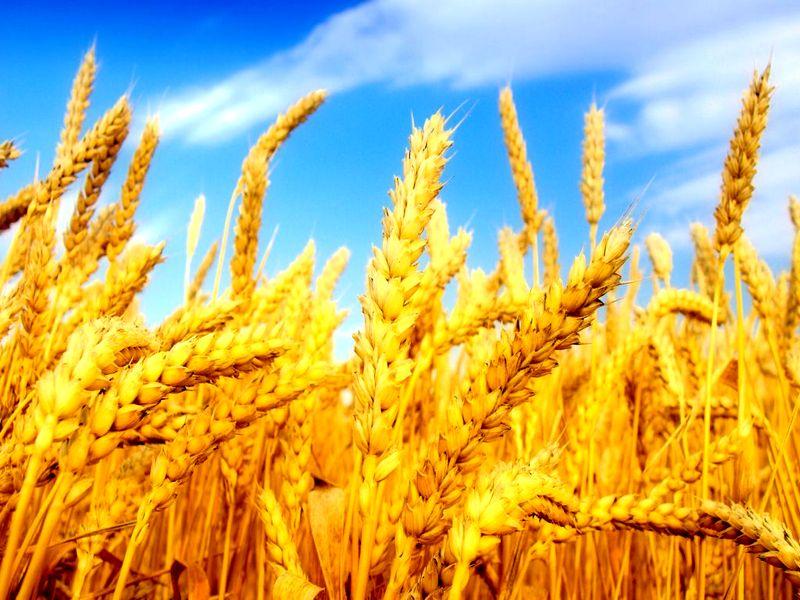 Продаем пшеницу с элеватора как добраться до элеватора в улан удэ