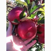 Підприємство продає яблука ОПТОМ