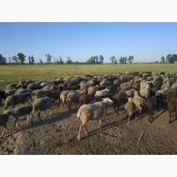 Продам овец маток и мясо барана