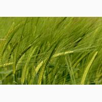 Семена озимой пшеницы Пилиповка, 268-270 дней, урожайность 73-81 ц/га