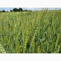 Продам пшеницу 2 класа
