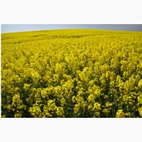 Ріпак озимий(насіння) Клеопатра РС