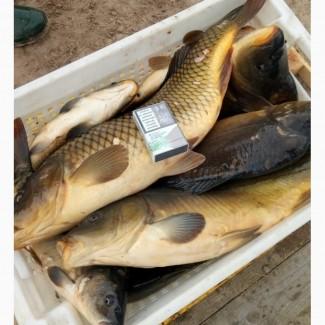 Продам живую рыбу