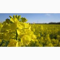 Куплю рапс ГМО без ГМО большими партиями