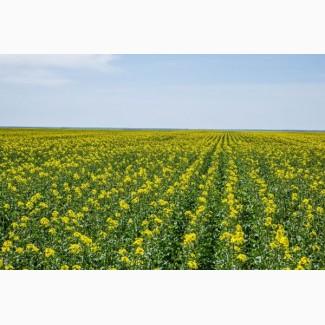 Урожайный озимый рапс Авентадор 35ц/га, Зимостойкий и устойчивый к засухе