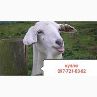 Скупаем коз козлов