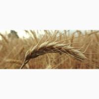Продам посевной материал озимой пшеницы Москвич элита Краснодарская селекция