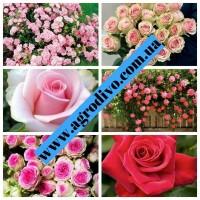 Саженцы роз в питомнике АГРОДИВО г. (Бахмут). розы