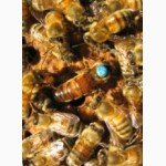 Пчеломатки Бакфаст. Матки прошли тестирование в Украине