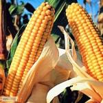 Семена кукурузы гибрида Любaва 279 МВ (F1) от производителя. (ФАО 270)