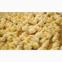 Курчата на забій / курчата 3 кг і більше