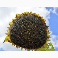 Семена подсолнечника от АГРОЕМГА ЕС Белла Евралис