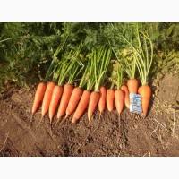 Продается молодая морковь оптом от производителя