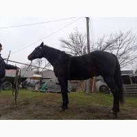 Лошадь, Американец чистокровный, темно-гнидой