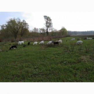 Продам коз с козлятами