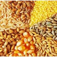 Продажа зерновых (кукуруза, пшеница, ячмень)