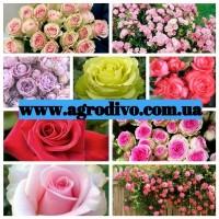 Саженцы роз, более 130 сортов от прозводителя продукции