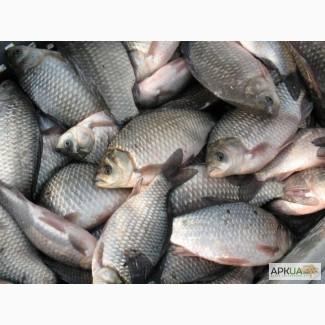 Куплю речную и ставковую рыбу. опт. Самовывоз