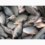 Продам рыбу карп карась толстолоб