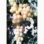 Саджанці винограду Русвен
