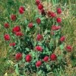 Продам семена клевера красного (конюшина червона)