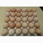 Яйця інкубаційні курей бройлерів РОСС-308 ( ROSS-308 ) Угорщина імпорт