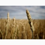 Куплю пшеницу.На постоянной основе