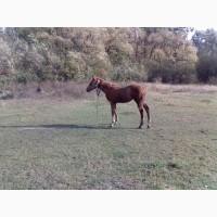 Продам коня(2-дві лошиці)