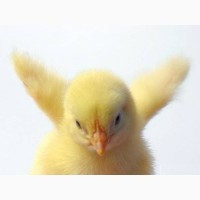 Курьи добовие курчата бройлери