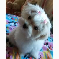 Трехмесячная девочка- мини – щенок мальтезе
