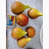 Свежие плоды инжира