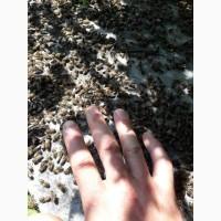 Продам бджолопакети терміново