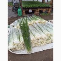 Продам Зелёный лук (перо)