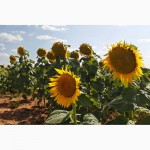 Предлагаем семена подсолнечника под Евролайтнинг