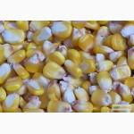 Семена кукурузы гибрида Одесский 385 М (F1) от производителя. (ФАО 380)