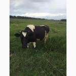 Продам корову, глибокотільну телицю та теличку