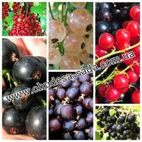 Саженцы смородины черная, красна, белая, гибриды большой выбор сортов доступная цена