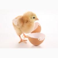 Приобрести яйца инкубационные Фокси Чик