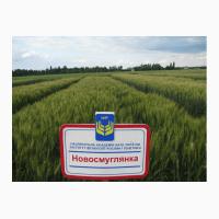 Озима пшениця Новосмуглянка сильна з високою посухостійкістю