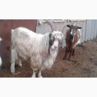 Продам козла породы ламанч